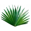 China Saw Palmetto Extract for sale