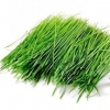 China Wheat Grass Powder for sale