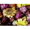 China HERBS & FLOWERS COLORFUL CHRYSANTHEMUM NO.MAHE005 for sale
