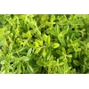 China Thyme Powder for sale