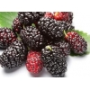 China Mulberry Extract for sale