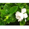 China Gardenia Extract for sale