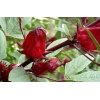 China Roselle Extract for sale