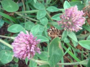 China Red Clover Extract on sale