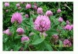 China Organic Red Clover extract on sale