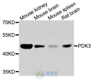 China Antibodies PDK3 Rabbit Polyclonal Antibody on sale