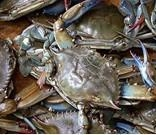 China Zhoushan swimming crab on sale