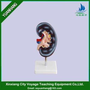 China human anatomical kidney model on sale