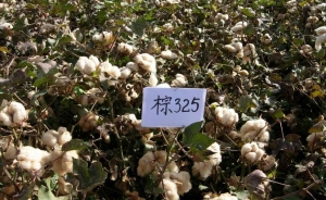China The new cotton No. 15 Tahe seed on sale