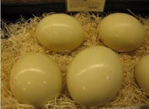 China Fertile Ostrich Eggs and Chicks on sale