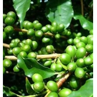 China English  Green Coffee Bean Extract on sale