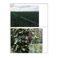 China Hot sale Organic Vegetables IQF Frozen Chinese Cauliflower on sale