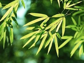 China Natural Antioxidants Bamboo Leaves Extract on sale