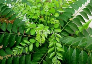 China curry-leaves on sale