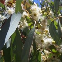 China Eucalyptus Essential Oil on sale