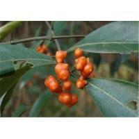 China Professional factory High quality natural Medicinal Morinda Root on sale