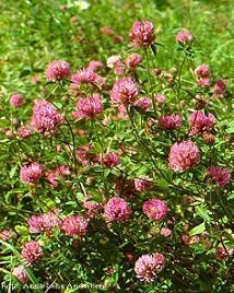 China Red Clover P.E., Red Clover Extract on sale