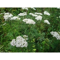 China YYS-017 Achillea Millefolium Extract, Yarrow Extract on sale