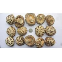 China High Quality Shiitake Mushroom cultivated in natural farms on sale